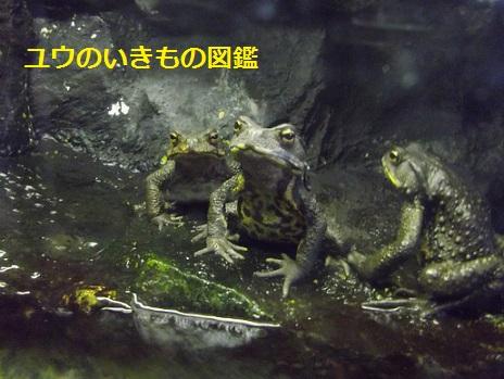 ヒキガエル