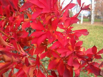 121115紅い葉-
