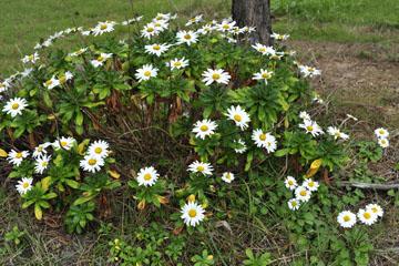 blog Miyagi, Kesennuma, Iwaisaki, flower_DSC0119-10.21.11 (2)