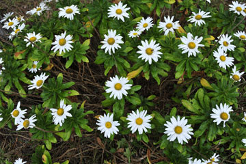 blog Miyagi, Kesennuma, Iwaisaki, flower_DSC0118-10.21.11 (2)