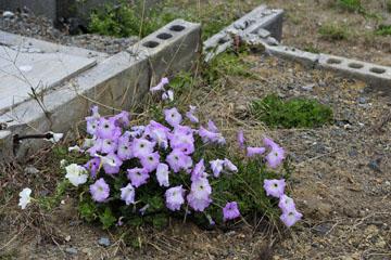 blog Miyagi, Kesennuma, Iwaisaki, flower_DSC0142-10.21.11 (2)