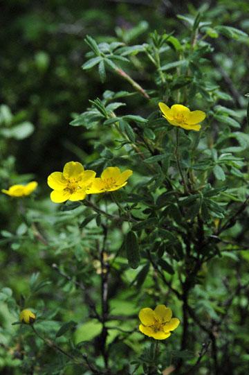 blog 139 After Burwash Landing, flower, Yukon, Canada_DSC0210-6.24.12 (1)