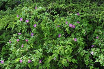 blog 139 After Burwash Landing, Rose, Yukon, Canada_DSC0211-6.24.12 (1)
