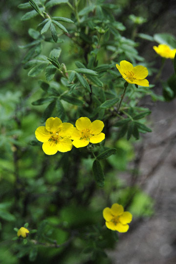 blog 139 After Burwash Landing, flower, Yukon, Canada_DSC0208-6.24.12 (1)