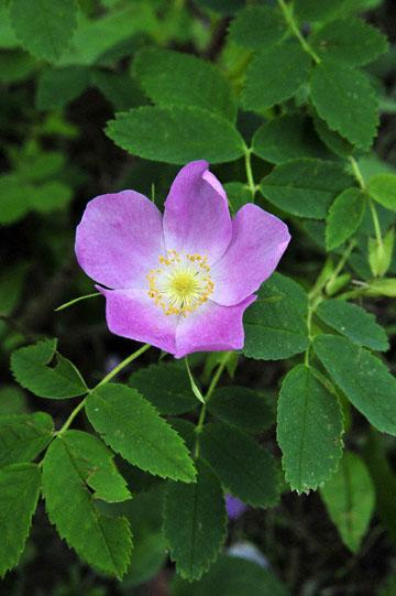 blog 139 Beaver Creek, Hotel, Wild Rose, Yukon, Canada_DSC0244-6.24.12 (1)