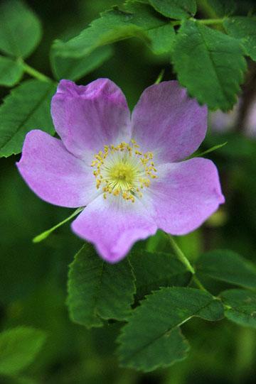 blog 139 Beaver Creek, Hotel, Wild Rose, Yukon, Canada_DSC0246-6.24.12 (1)