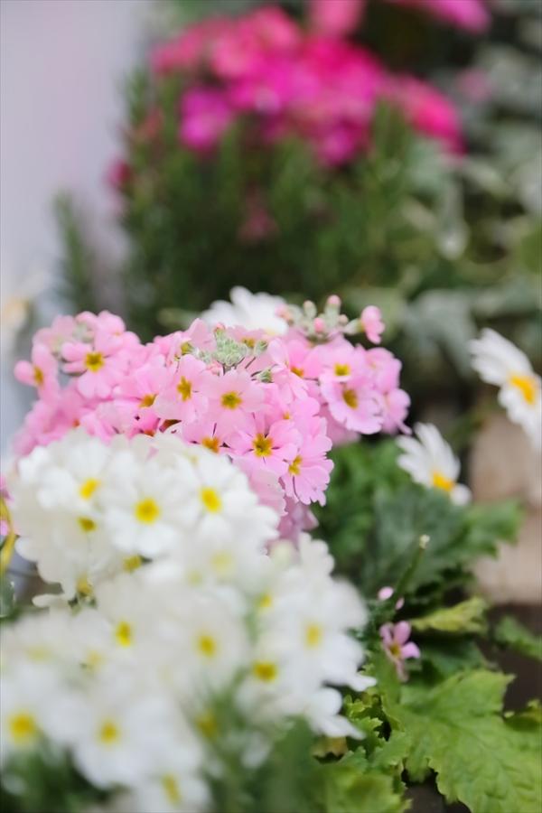 CP2013オリンパス装飾花15