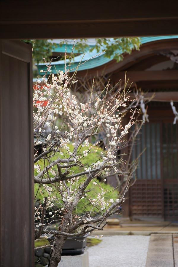 鶴岡八幡宮梅開花庭木09