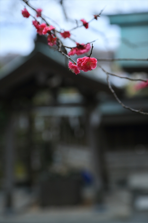 えがら神社本殿から紅梅09