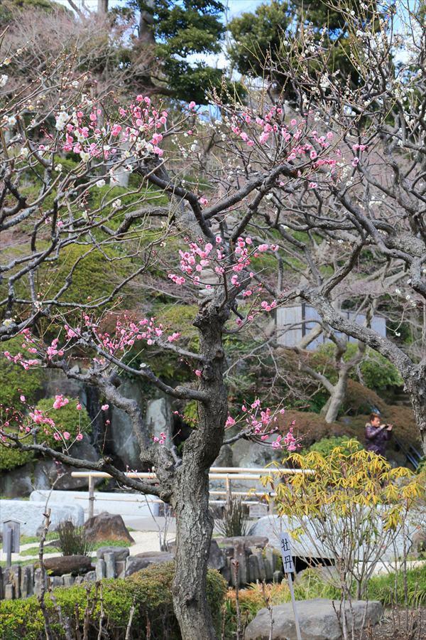 長谷寺その2庭園紅梅10