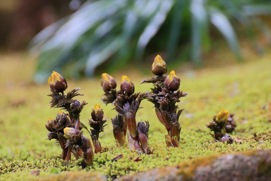 長谷寺その2福寿草のある風景17