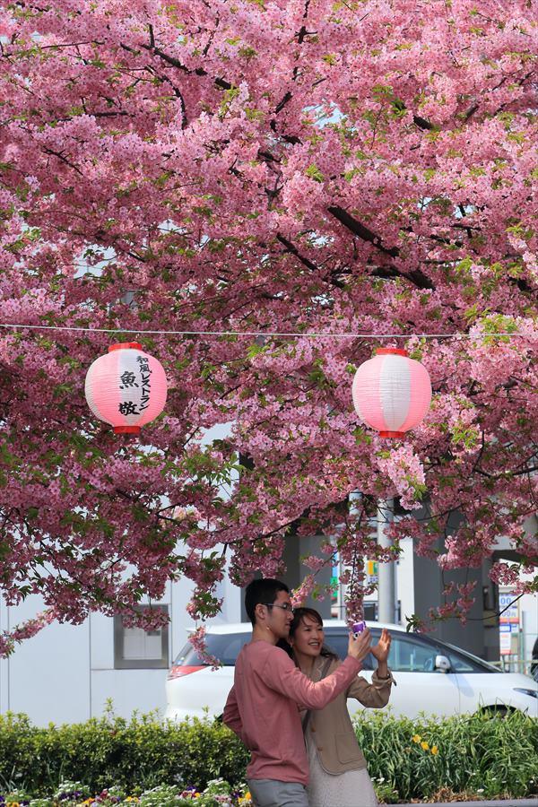三浦河津桜ひととき祭りカップル03