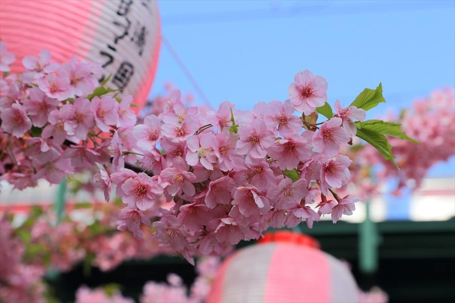 三浦河津桜ひととき祭り02