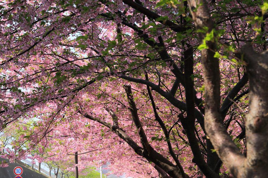 三浦桜11