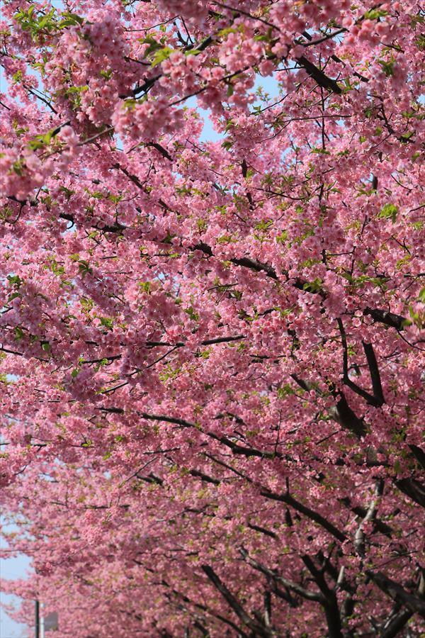 三浦桜12