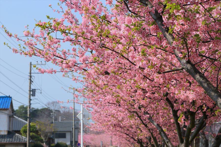 三浦桜04