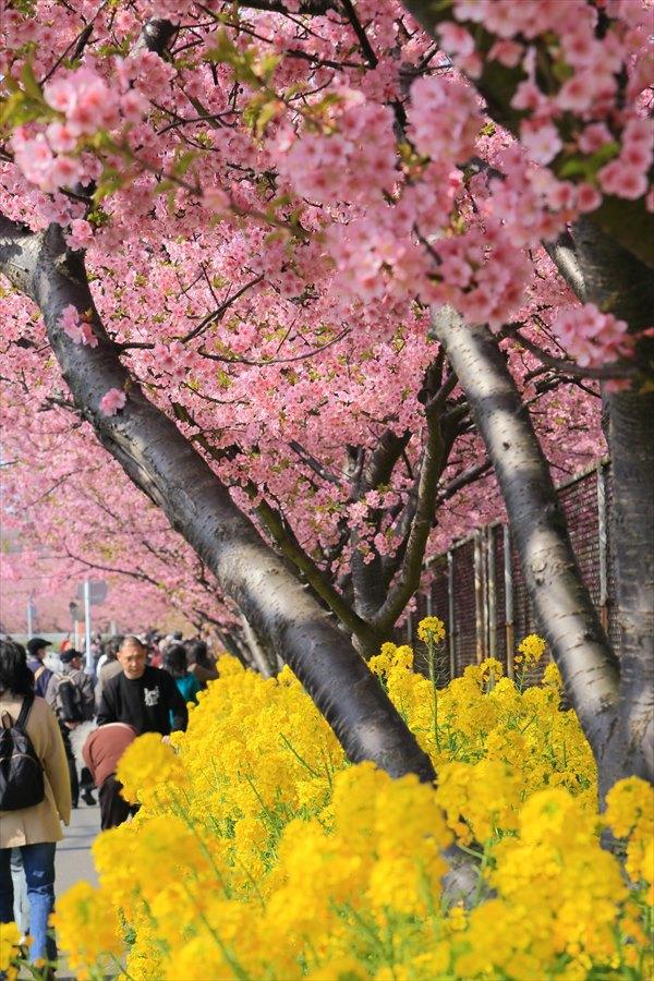 三浦河津桜ひととき菜の花とサクラ05