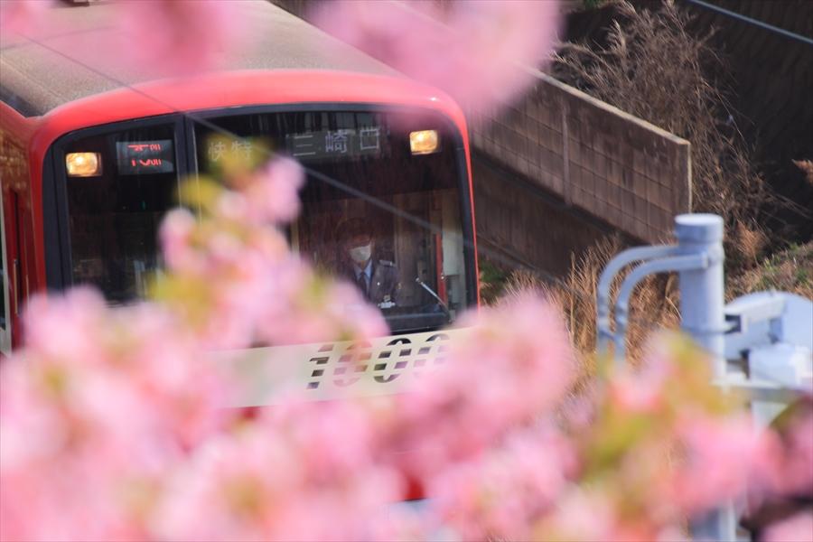 三浦京急桜ななめ01