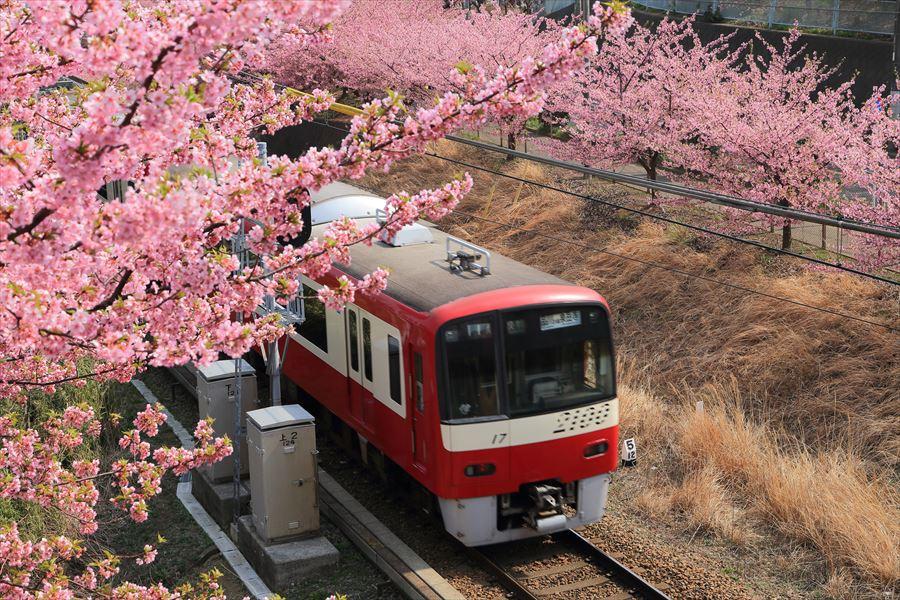 三浦京急桜ななめ02