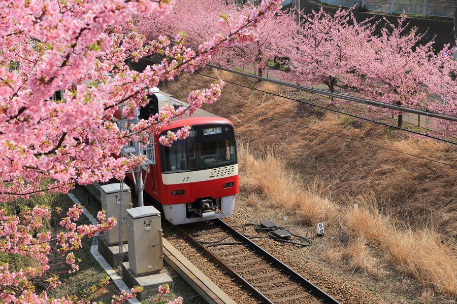 三浦京急桜ななめ03