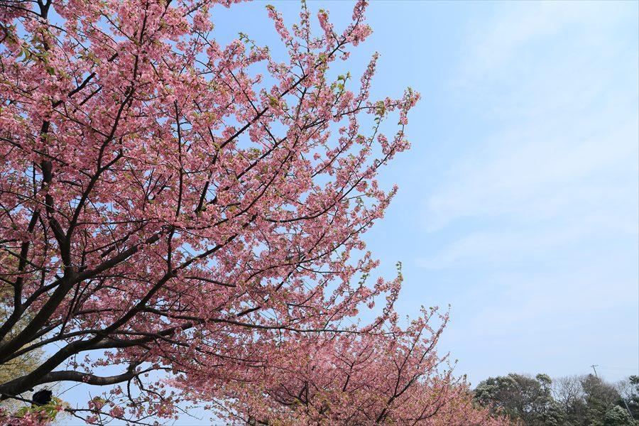 三浦河津桜ひととき01