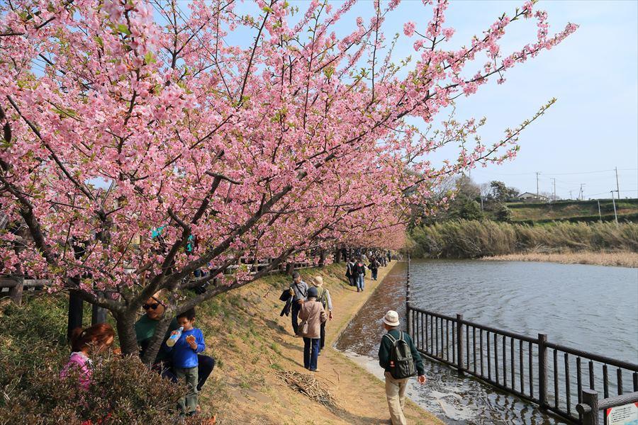 三浦河津桜ひととき池と子供と桜11