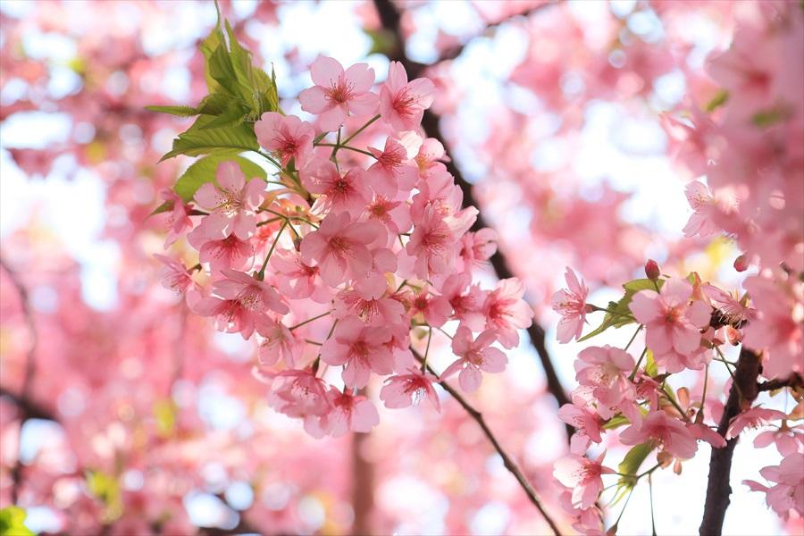 三浦桜15