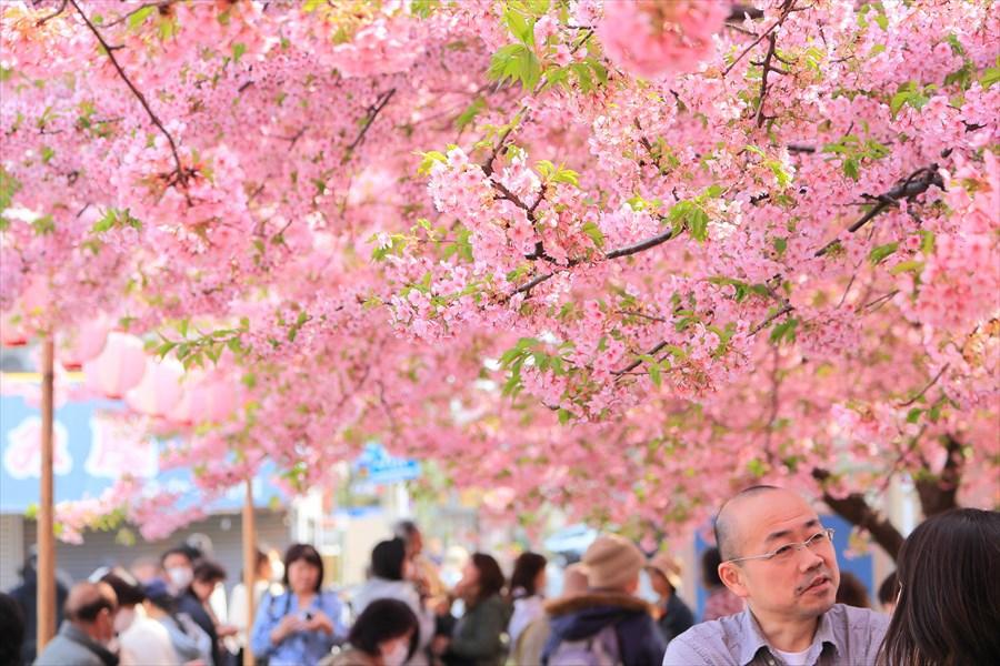 三浦河津桜ひととき祭り07