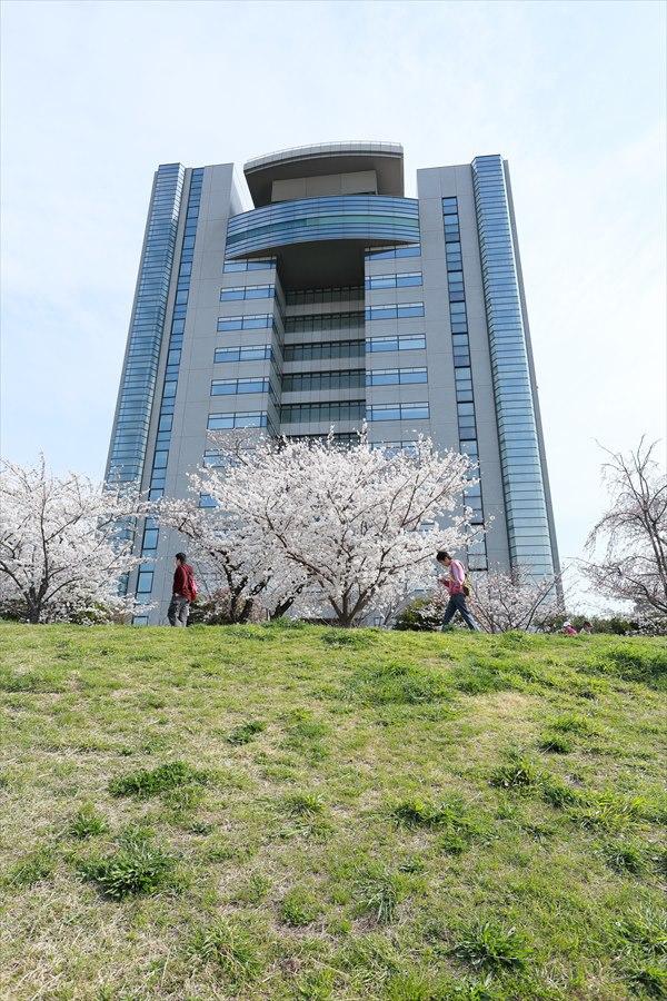 2013多摩川桜01