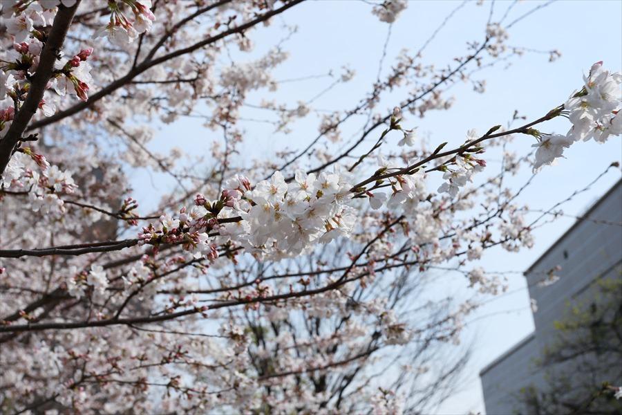 2013多摩川桜その210