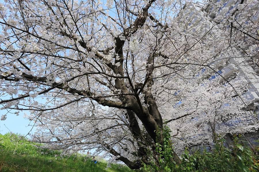 2013多摩川桜その201