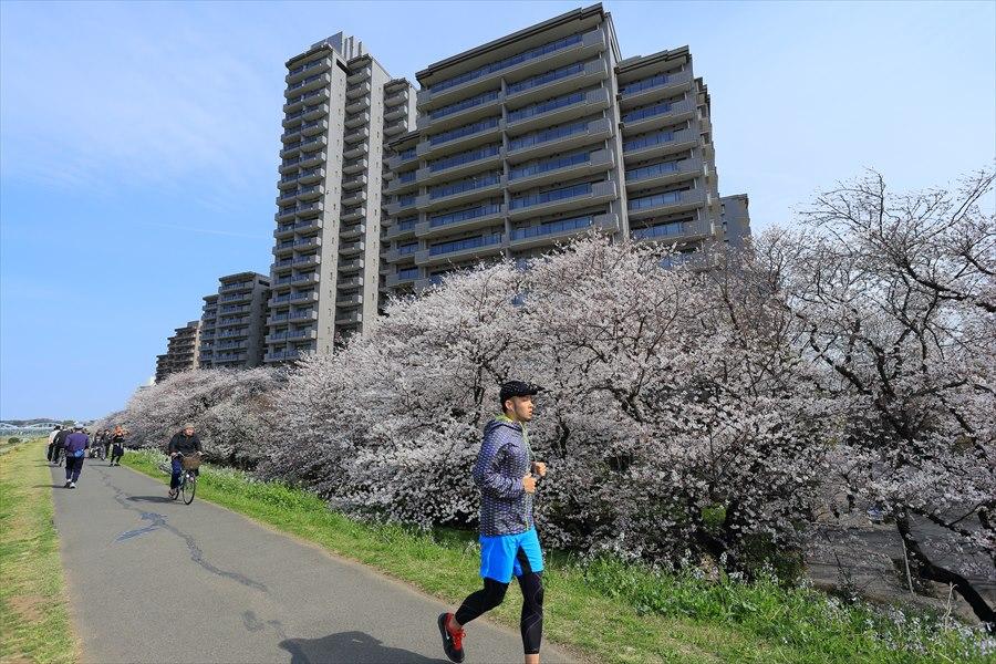 2013多摩川桜その202