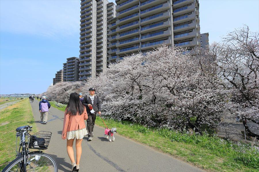 2013多摩川桜その203