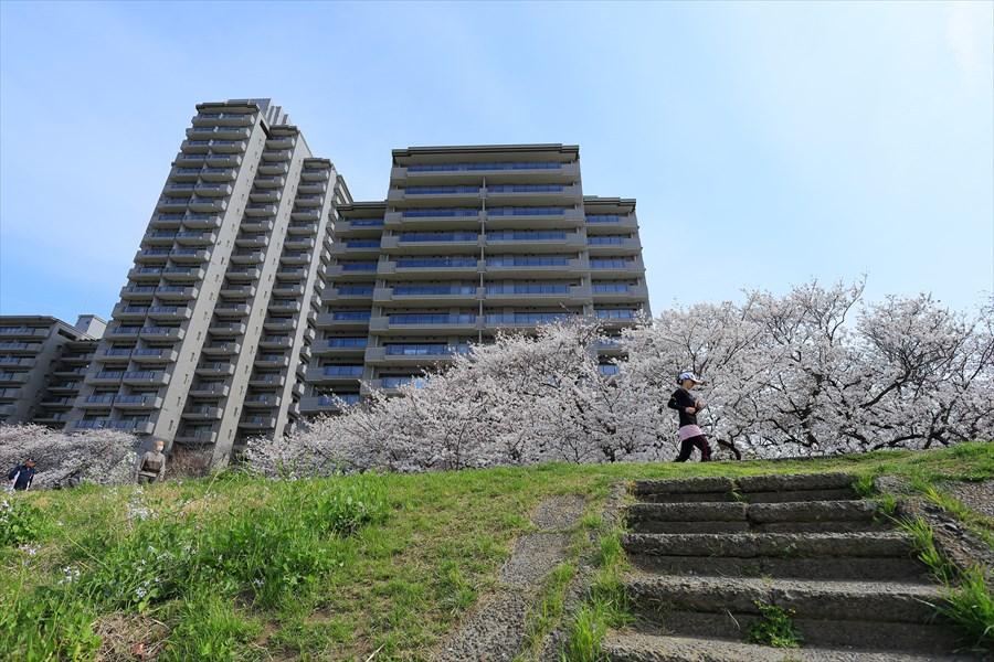 2013多摩川桜その204