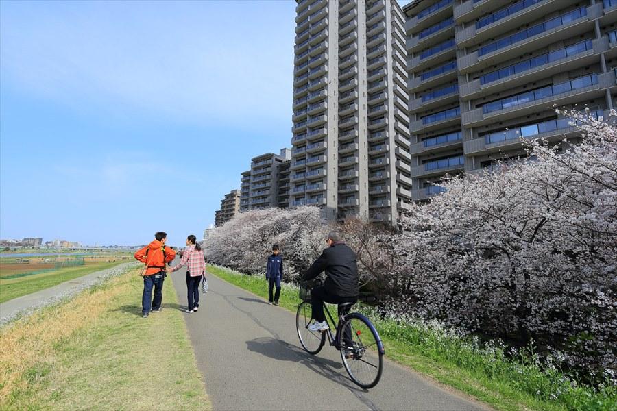 2013多摩川桜その206
