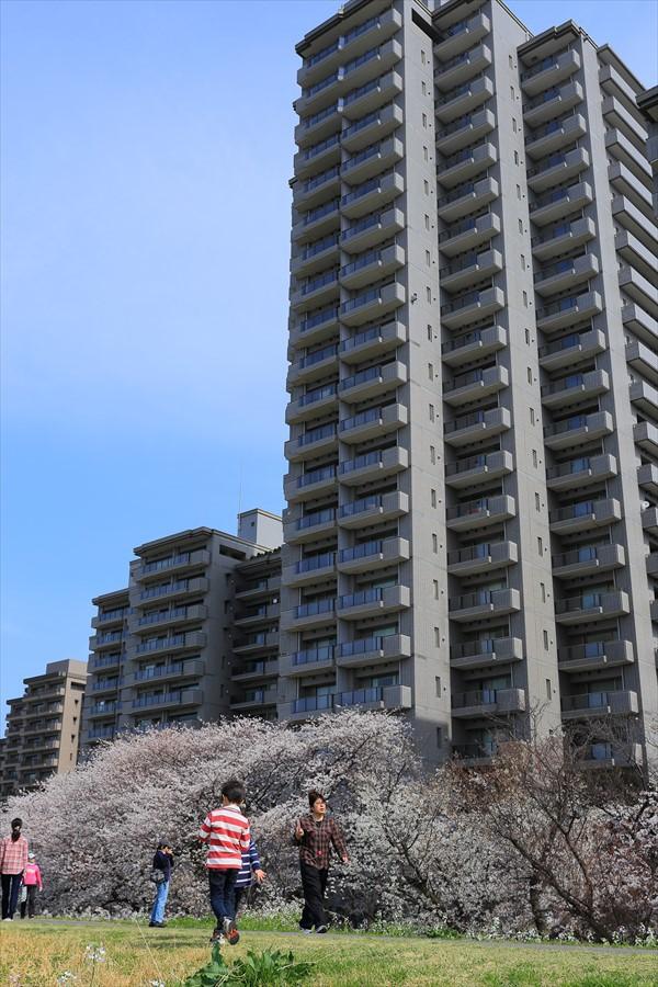 2013多摩川桜その207