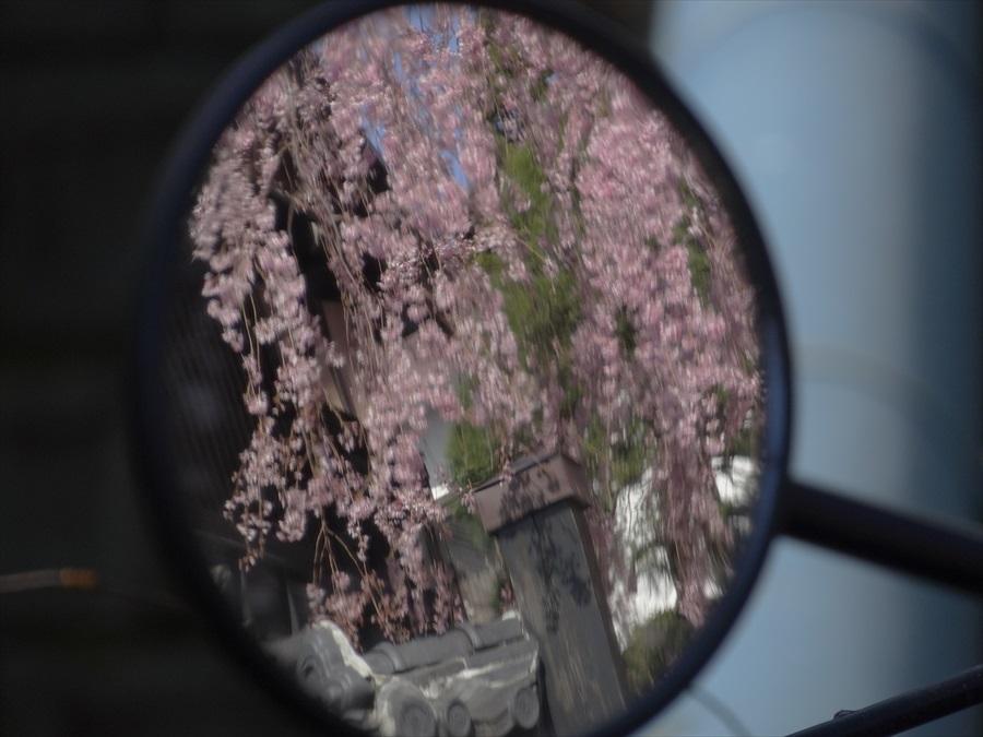 仙台石橋屋しだれ桜13