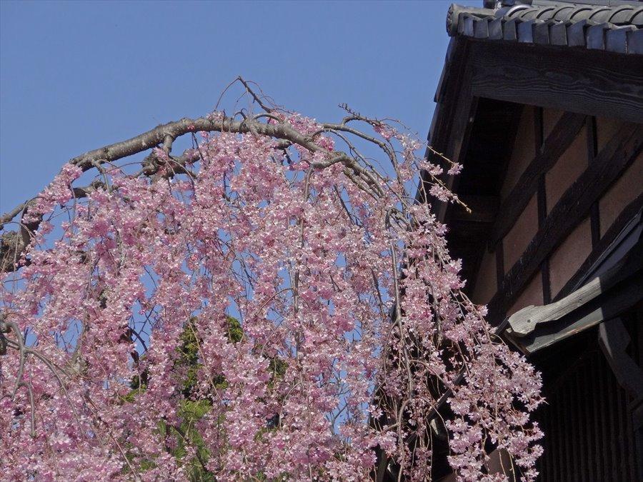 仙台石橋屋しだれ桜07