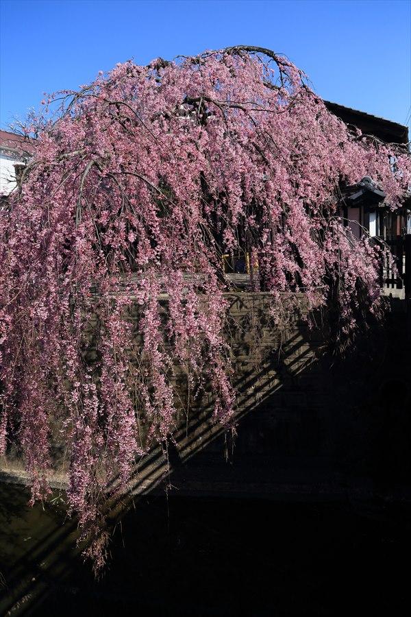 仙台石橋屋しだれ桜11