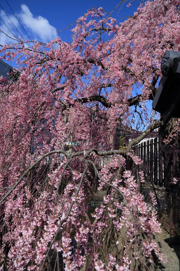 仙台石橋屋しだれ桜12