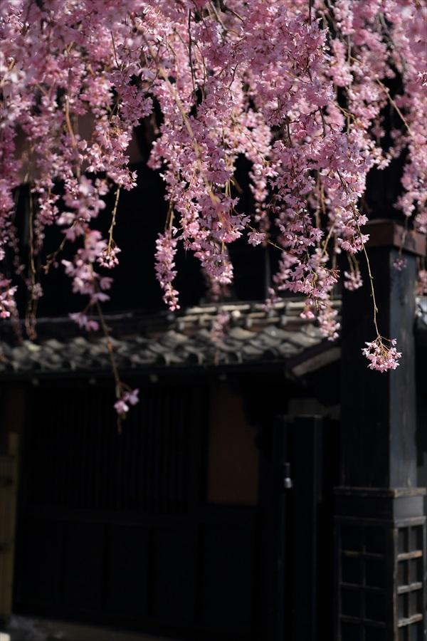 仙台石橋屋しだれ桜10