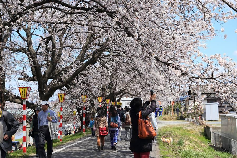 白石川千本桜その1遊歩道02
