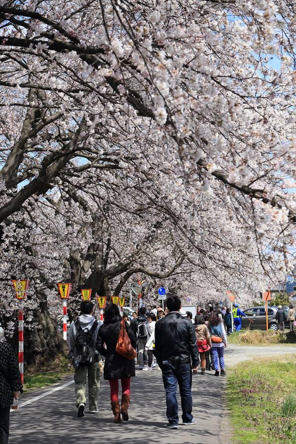 白石川千本桜その1遊歩道03