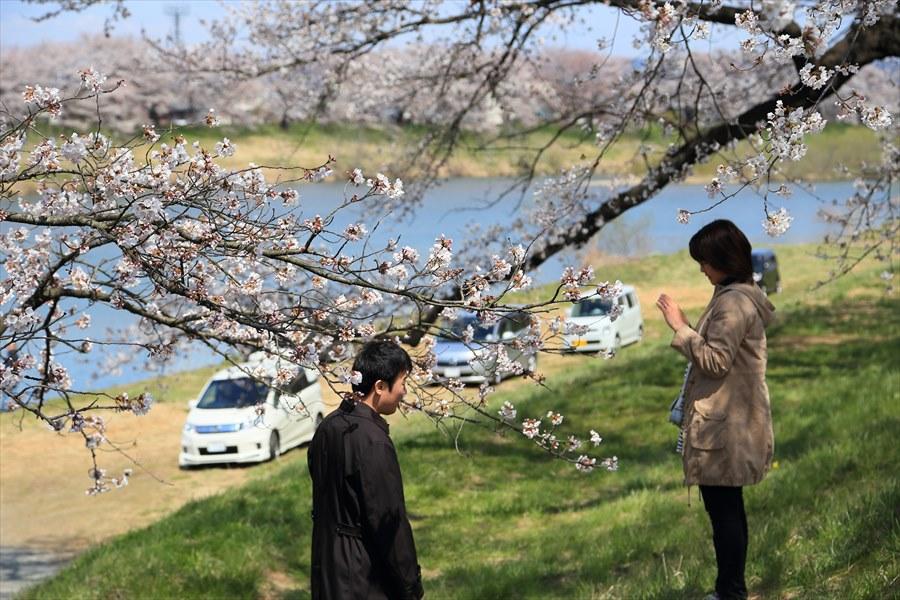 白石川千本桜その1遊歩道カップル05