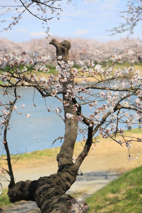 白石川千本桜その1遊歩道枝振り06