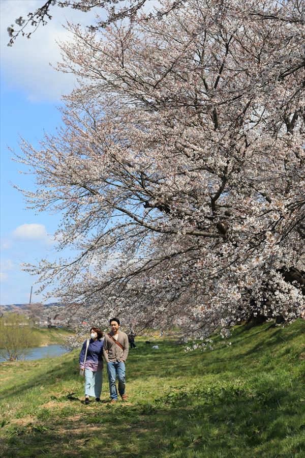 白石川千本桜その1遊歩道川岸08