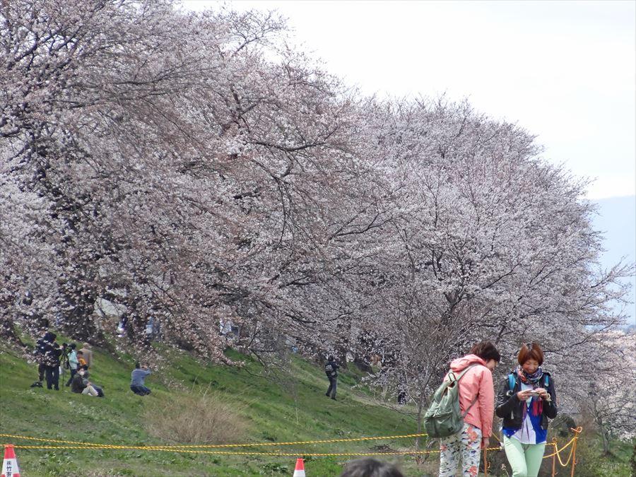 白石川千本桜その2ほっと04