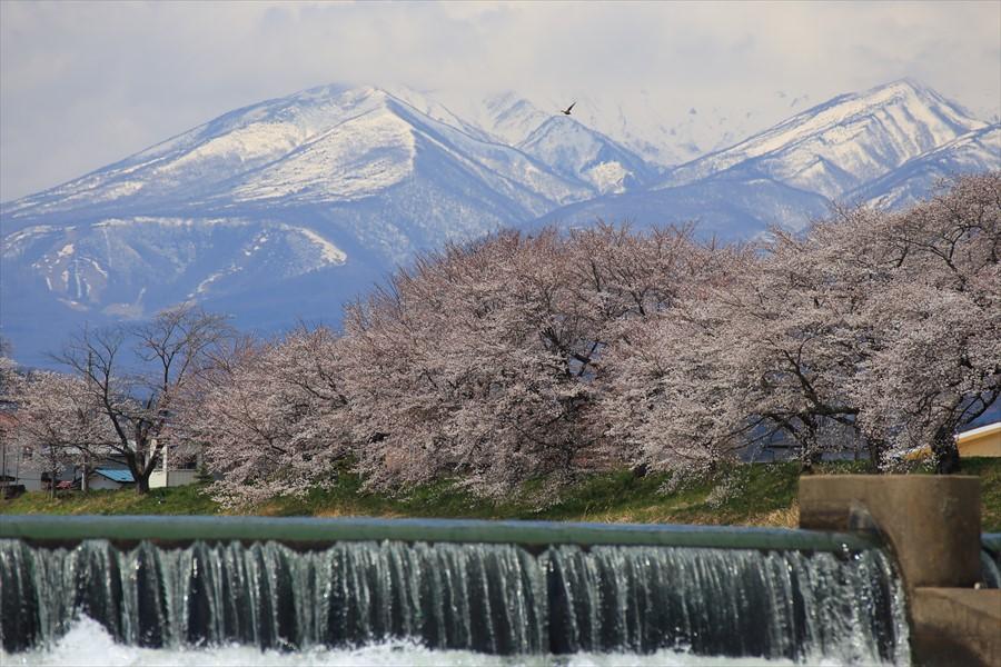 白石川千本桜その2堰ドアップ05
