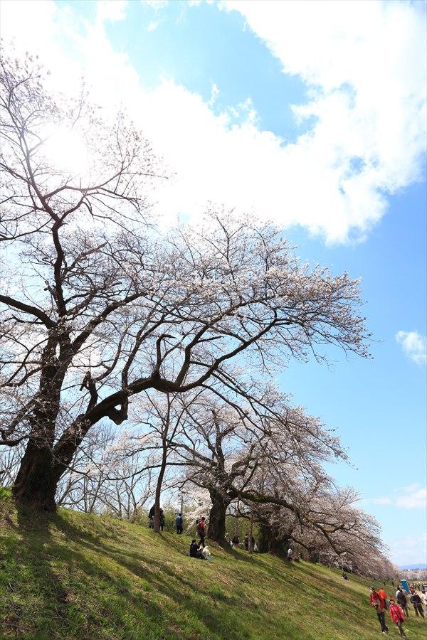 白石川千本桜その2堰の土手09
