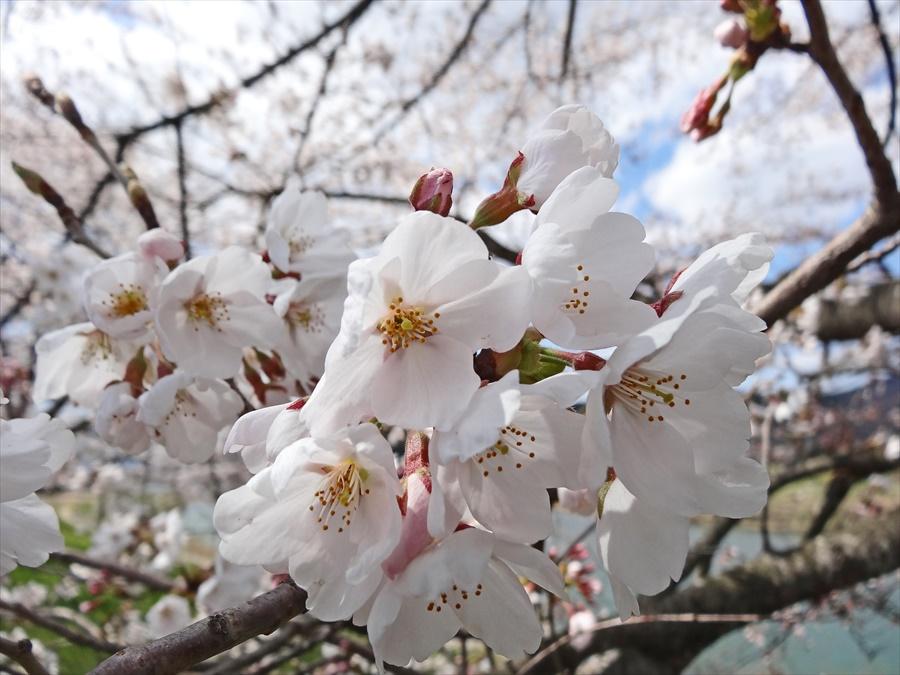 白石川千本桜その1遊歩道桜花アップ12